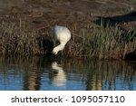 eurasian or common spoonbill in ... | Shutterstock . vector #1095057110