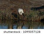 eurasian or common spoonbill in ... | Shutterstock . vector #1095057128