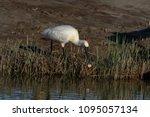 eurasian or common spoonbill in ... | Shutterstock . vector #1095057134