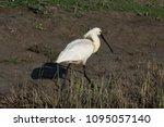 eurasian or common spoonbill in ... | Shutterstock . vector #1095057140