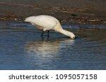 eurasian or common spoonbill in ... | Shutterstock . vector #1095057158