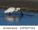 eurasian or common spoonbill in ... | Shutterstock . vector #1095057164