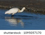 eurasian or common spoonbill in ... | Shutterstock . vector #1095057170