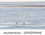 Small photo of Feeding Avocets, Recurvirostra Avosetta, in a wetland at the island Oland in Sweden