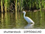 a great white egret calls for... | Shutterstock . vector #1095066140