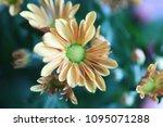 beautiful gerbera l.  transvaal ... | Shutterstock . vector #1095071288