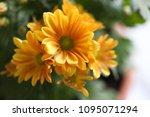 beautiful gerbera l.  transvaal ... | Shutterstock . vector #1095071294