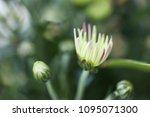 beautiful gerbera l.  transvaal ... | Shutterstock . vector #1095071300