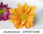 beautiful gerbera l.  transvaal ... | Shutterstock . vector #1095071348
