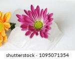 beautiful gerbera l.  transvaal ... | Shutterstock . vector #1095071354