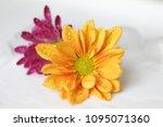 beautiful gerbera l.  transvaal ... | Shutterstock . vector #1095071360