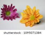 beautiful gerbera l.  transvaal ... | Shutterstock . vector #1095071384