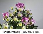 beautiful gerbera l.  transvaal ... | Shutterstock . vector #1095071408