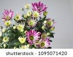 beautiful gerbera l.  transvaal ... | Shutterstock . vector #1095071420