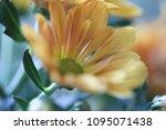 beautiful gerbera l.  transvaal ... | Shutterstock . vector #1095071438
