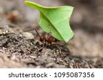 Small photo of Worker leafcutter ant [Atta cephalotes] cutting a leaf of Arachis pintoi, an inedible peanut. Between her jaws she has a drop of liquid, the purpose of which is still under discussion among scientists