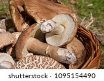 harvested at autumn amazing... | Shutterstock . vector #1095154490