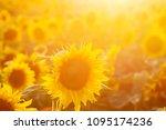sunflower field at sunset.... | Shutterstock . vector #1095174236
