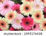 big pastel gerbers in a flora...   Shutterstock . vector #1095176438
