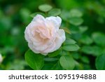 pink rose as a sign of affection | Shutterstock . vector #1095194888