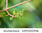 vine sprout with young bunch of ... | Shutterstock . vector #1095202946