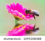 bee catching pollen on the... | Shutterstock . vector #1095208388