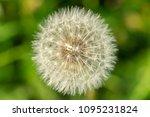 beautiful dandelion on green... | Shutterstock . vector #1095231824