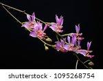 hybrid orchid is doritos...   Shutterstock . vector #1095268754