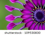 African Daisy Or Osteospermum...