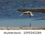 eurasian or common spoonbill in ... | Shutterstock . vector #1095342284