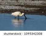 eurasian or common spoonbill in ... | Shutterstock . vector #1095342308