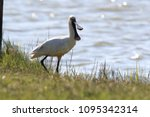 eurasian or common spoonbill in ... | Shutterstock . vector #1095342314