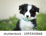 Stock photo adorable two months old black and white border collie puppy 1095343868