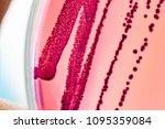 colony characteristics of... | Shutterstock . vector #1095359084