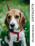 Small photo of Close up portrait of beautiful little beagle dog in red lead sitting obediently on the green grass in the park