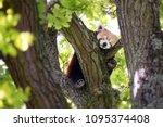 cute red panda  ailurus fulgens ...   Shutterstock . vector #1095374408