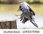 Falconry. Beautiful Gymnogene...