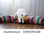 Stock photo white ragdoll kitten playing at home inside room 1095394238