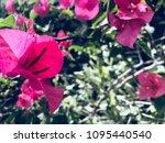 this is violet flora    Shutterstock . vector #1095440540