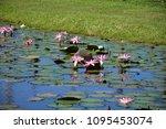 aquatic plants are plants that... | Shutterstock . vector #1095453074