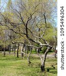 Small photo of Spring landscape and tender young greenery on bizarrely bent trees