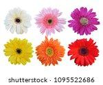 colorful vibrant bright gerbera ... | Shutterstock . vector #1095522686