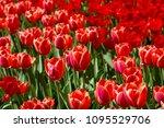 tulips flower  many flowering... | Shutterstock . vector #1095529706
