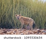 portrait of spotted hyena... | Shutterstock . vector #1095530654