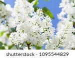 Blossoming Common Syringa...
