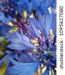 Tender Flower Cornflower. A...