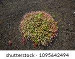 wet green flora on hawaii island   Shutterstock . vector #1095642494