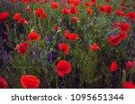 wild poppy flower at sunset. ... | Shutterstock . vector #1095651344