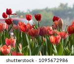 beautiful blurred tulips... | Shutterstock . vector #1095672986