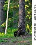 brown bear cub resting   Shutterstock . vector #109568798